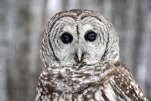 Barred Owl Stare by Angie Rea