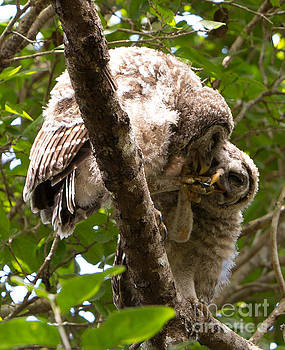 Barred Owlet Toe Nibbling Game by Natural Focal Point Photography