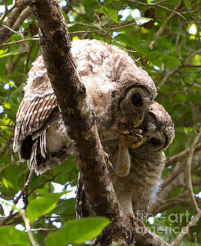 Barred Owlets Game by Natural Focal Point Photography