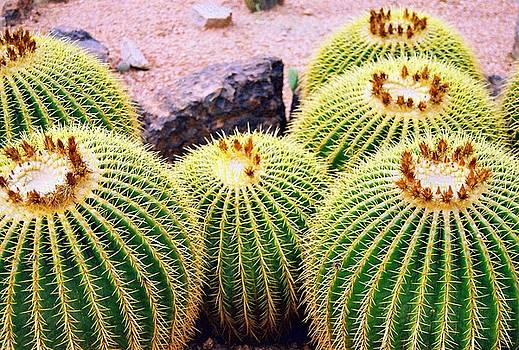 Barrel Cactus by Carrie Putz