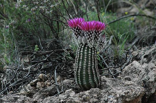 Karen Slagle - Barrel Cactus