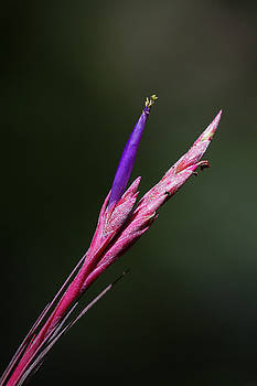 Bartram's Airplant Flower by Paul Rebmann