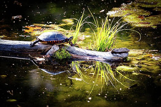 Basking Turtle by David Oakill