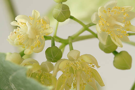 Sandra Foster - Basswood Tree Blossoms - Macro