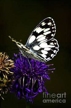 Bathwhite Butterfly by Steven Brennan
