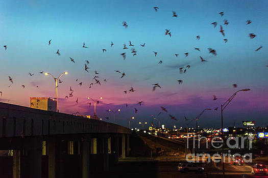 Herronstock Prints - Bats At The McNeil I-35 Bridge in Round Rock, Texas drop out and