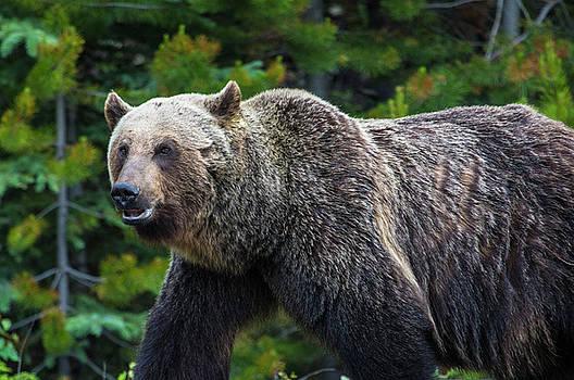 BBB - Big Beautiful Bear by Craig Sanders