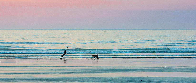 Beach Dogs Playing at Dawn by Thomas Lavoie