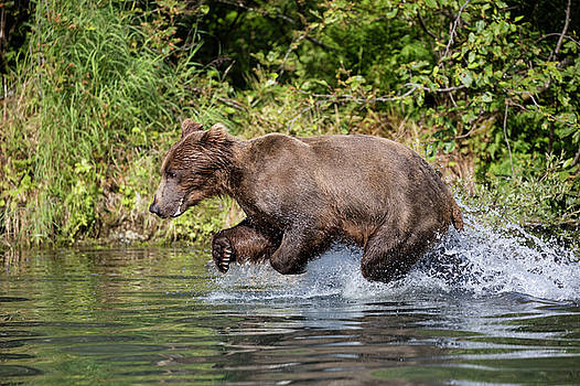 Gloria Anderson - Bear charging into the water