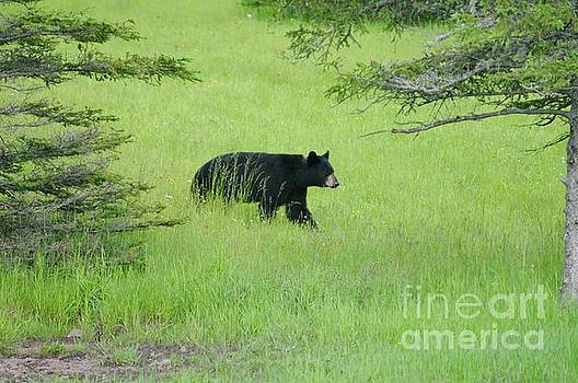 Bear Coming by Sandra Updyke