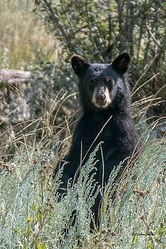 Bear Cub At Waterton Canyon by Stephen  Johnson