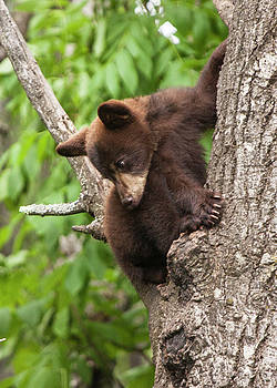 Randall Nyhof - Bear Cub in a Tree looking down
