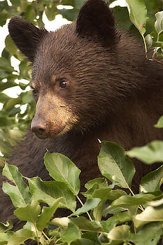 Bear Cub in Apple Tree1 by Loni Collins