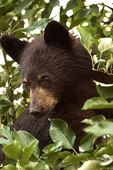 Bear Cub in Apple Tree2 by Loni Collins