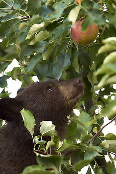 Bear Cub in Apple Tree4 by Loni Collins