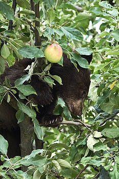Bear Cub in Apple Tree5 by Loni Collins