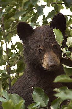 Bear Cub in Apple Tree7 by Loni Collins