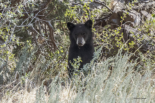 Bear Cub Looking For Mom by Stephen  Johnson