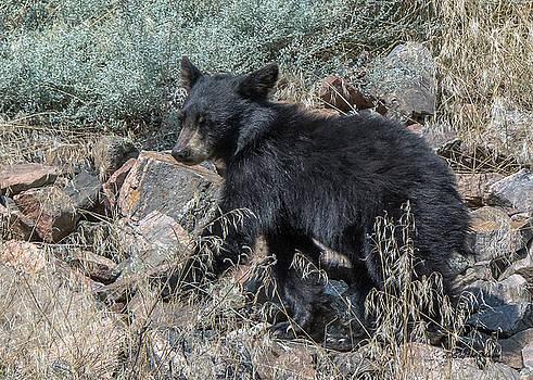 Bear Cub Walking by Stephen  Johnson