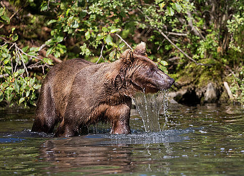 Gloria Anderson - Bear dripping water