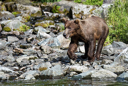 Gloria Anderson - Bear getting ready to go in the water