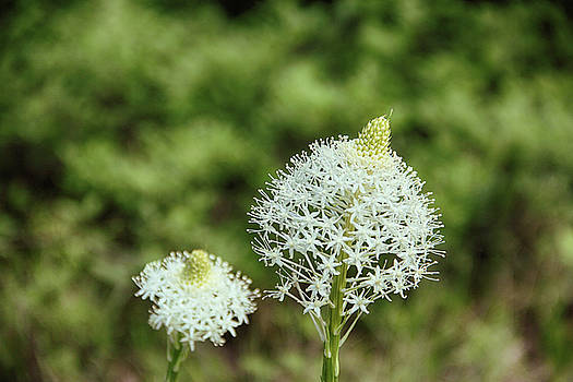 Bear Grass Blossom by Marie Leslie
