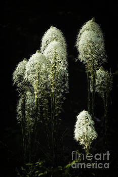 Bear Grass by Danny Nestor