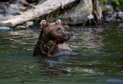 Gloria Anderson - Bear in the water in Alaska