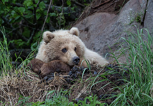 Bear on a ledge by Gloria Anderson