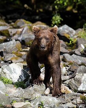 Gloria Anderson - Bear on the rocks walking