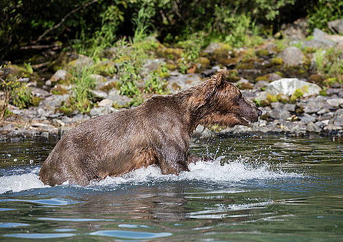 Gloria Anderson - Bear playing in the water