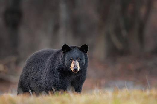 Bear Stare by Bill Wakeley