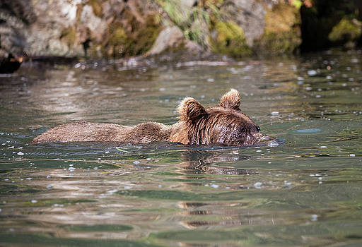 Gloria Anderson - Bear swimming with his nose underwater