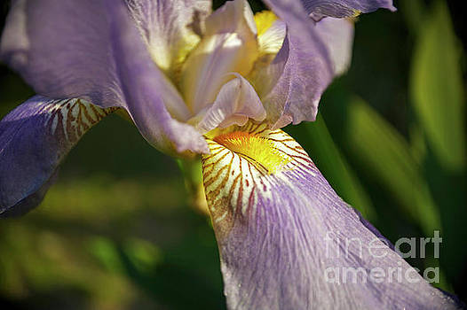 Bearded Iris by Elaine Mikkelstrup