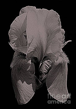 Bearded Iris Flower In Black And White by Smilin Eyes  Treasures