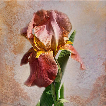 Bearded Iris by TnBackroadsPhotos