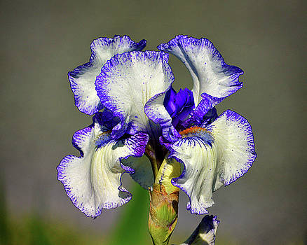Bearded Iris White with Purple in Glorious Color by Bill Swartwout Fine Art Photography