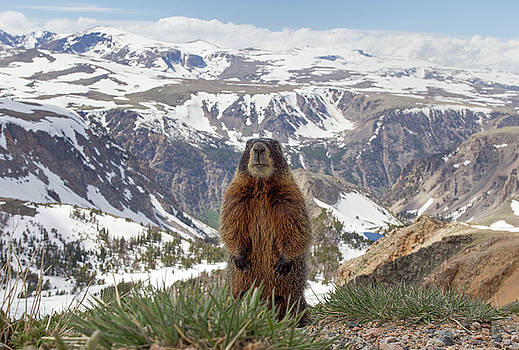 Max Waugh - Beartooth Marmot