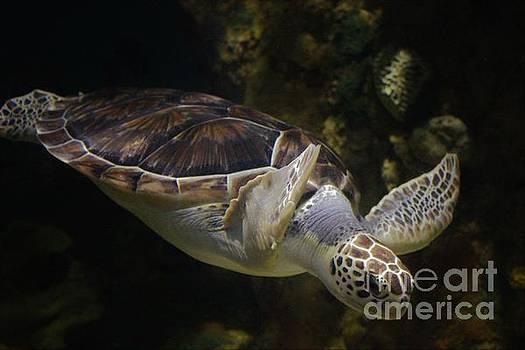 Paulette Thomas - Beautifu Sea Turtle