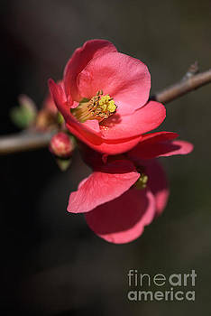 Beautiful And Rich Flowering Quince by Joy Watson