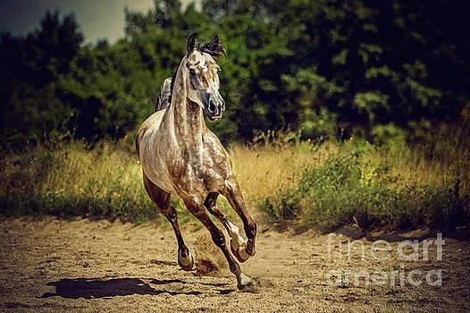 Dimitar Hristov - Beautiful arabian horse