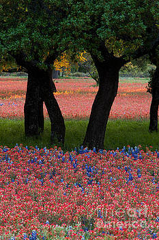 Herronstock Prints - Beautiful arrangement of bright red Paintbrush and Bluebonnets a