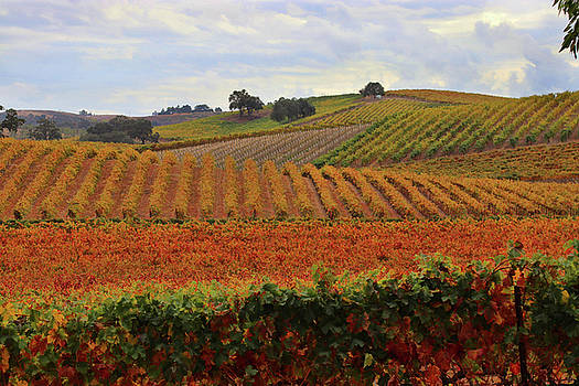 Beautiful Autumn Colored Fall Wine Vineyard by Stephanie Laird