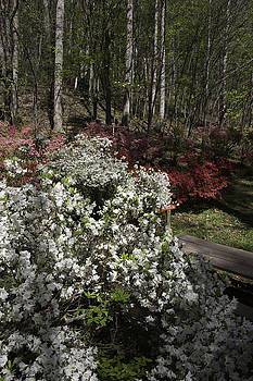 Teresa Mucha - Beautiful Azaleas Blooming at Happy Hollow Gardens