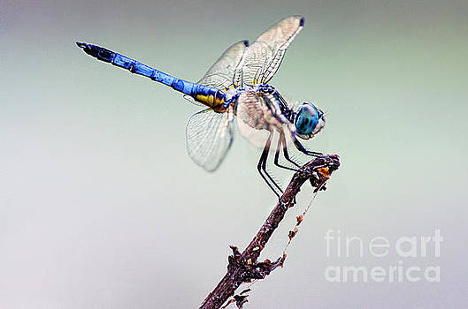 Beautiful Blue Dasher  by Spade Photo
