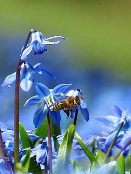 Beautiful Blue Eyed Grass and Bee by Lori Frisch