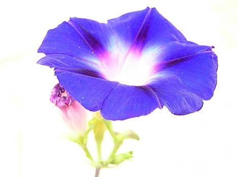 Beautiful Blue Flower by Sajjad Musavi