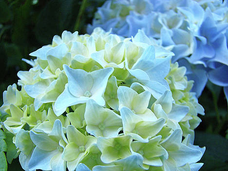 Baslee Troutman - Beautiful Blue Hydrangea Floral art prints Creamy White Pastel