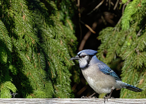 Beautiful Blue Jay by Phill Doherty
