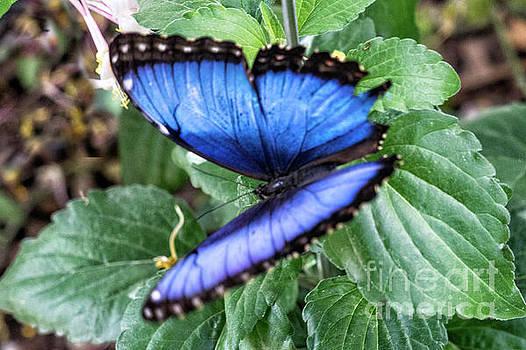Beautiful Blue Morpho Butterfly by Carol Bilodeau